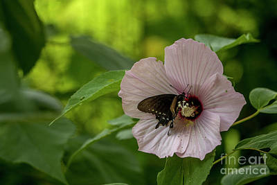 Photograph - Rose Mallow by Reva Dow