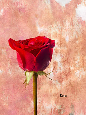 Single Flower Photograph - Rose by Mark Rogan