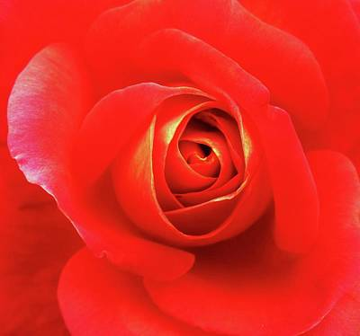 Rose Art Print by Mary Ellen Frazee