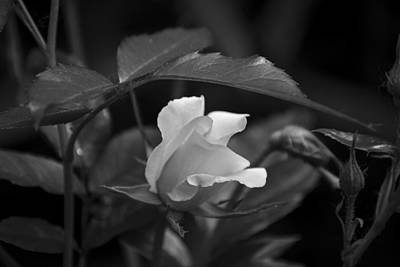 Wall Art - Photograph - Rose by Maureen Janson Heintz