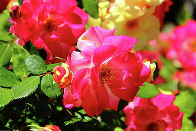 Photograph - Rose Medley by Allen Nice-Webb