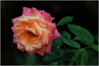 Photograph - Rose by Michel Legare
