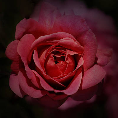 Photograph - Rose by Nikolyn McDonald