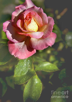 Photograph - Rose Number 24 by David Millenheft