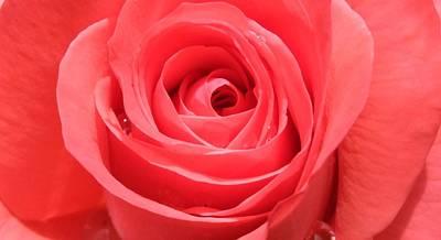 Rose Of Love Art Print by Deborah Brewer