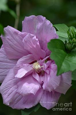 Photograph - Rose Of Sharon 18-01 by Maria Urso
