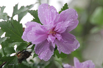 Photograph - Rose Of Sharon After The Rain 8699 by Ericamaxine Price