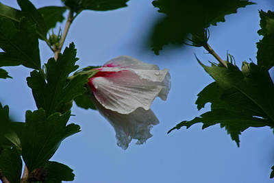 Rose Of Sharon After The Rain Art Print by Martin Morehead