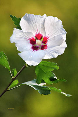 Photograph - Rose Of Sharon Flower by Christina Rollo