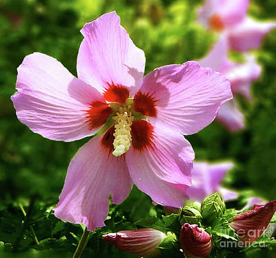 Photograph - Rose Of Sharon Flowers by Dave Nevue
