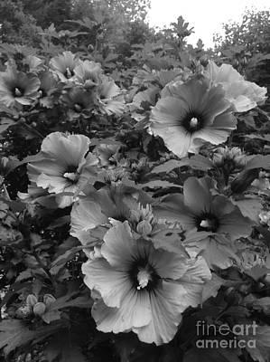 Rose Of Sharon Tree Photograph - Rose Of Sharon In Black And White by Gina Sullivan
