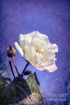 Photograph - Rose Of Sharon In Blue Fog by Elaine Teague