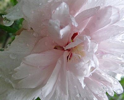 Photograph - Rose Of Sharon In The Rain by Claudia Goodell
