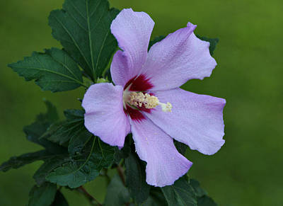 Althea Photograph - Rose Of Sharon by Sandy Keeton
