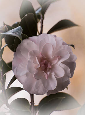 Plant Photograph - Rose Of Winter by Zina Stromberg