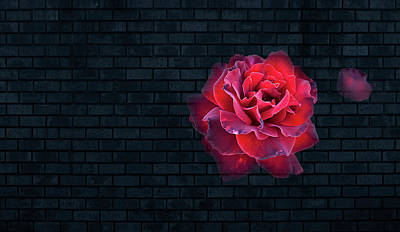 Red Rose Digital Art - Rose On The Black Wall by Nat Air Craft