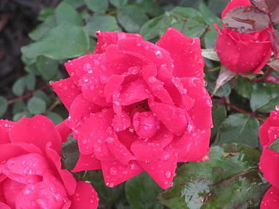 Photograph - Rose Petals And Raindrops by Loretta Pokorny