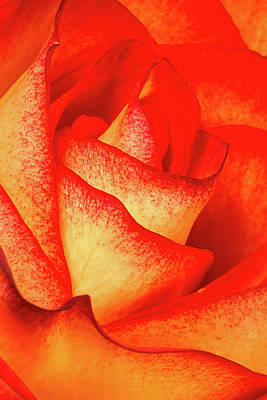Anniversary Photograph - Rose Petals by Dawn Currie