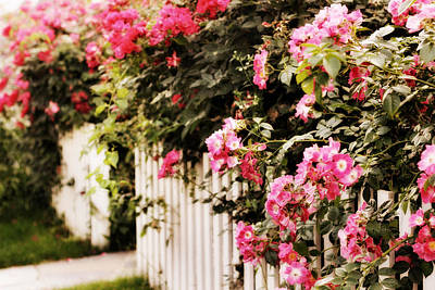 Picket Fence Flowers Photograph - Rose Picket Fence by Jessica Jenney