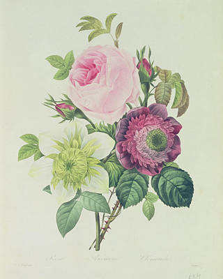21st Painting - Rose by Pierre Joseph Redoute