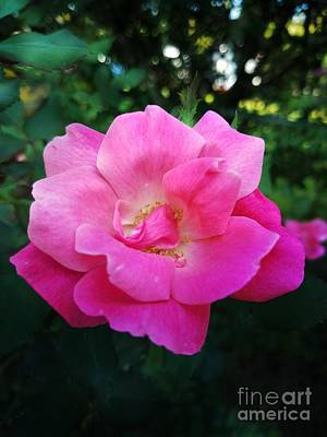 Photograph - Rose Pink by Maria Urso
