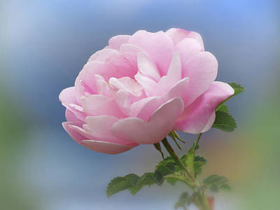 Photograph - Rose Pink On Blue by MTBobbins Photography