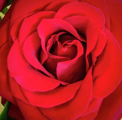 Photograph - Rose Red 2 by Ronda Broatch