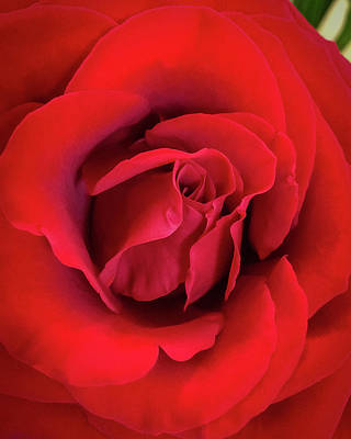 Photograph - Rose Red 4 by Ronda Broatch