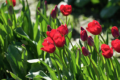 Photograph - Rose Red Tulips by Tom Cochran