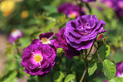 Photograph - Rose Rhapsody In Blue by Jenny Rainbow