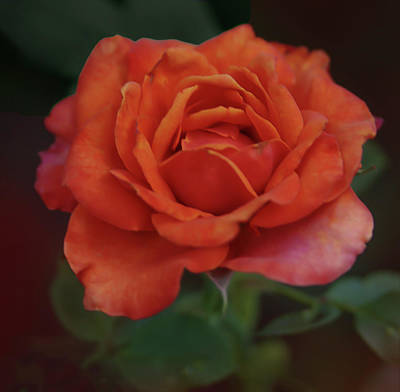 Photograph - Rose by Rick Mosher