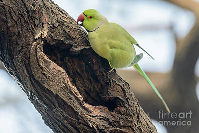 Photograph - Rose-ringed Parakeet 03 by Werner Padarin