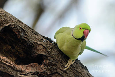 Photograph - Rose-ringed Parakeet 04 by Werner Padarin