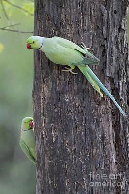 Parakeet Photograph - Rose-ringed Parakeets by Bernd Rohrschneider/FLPA