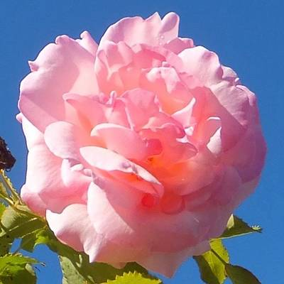 Photograph - Rose Rose by Marc Philippe Joly