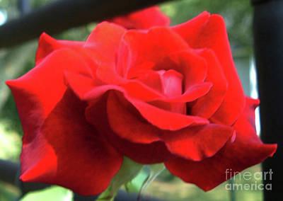 Belinda Landtroop Royalty Free Images - Rose Secrets Royalty-Free Image by Belinda Landtroop