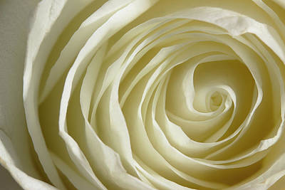 Photograph - Rose Series 4 White by Mike Eingle