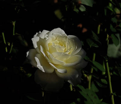 Photograph - Rose Shadow by Ronda Ryan