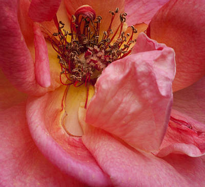 Photograph - Rose So Close by Stephen Anderson