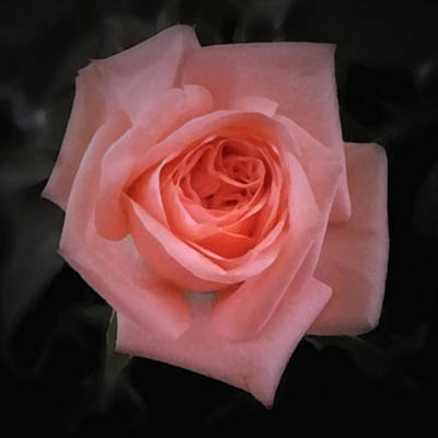 Photograph - Rose - Square by Richard Andrews