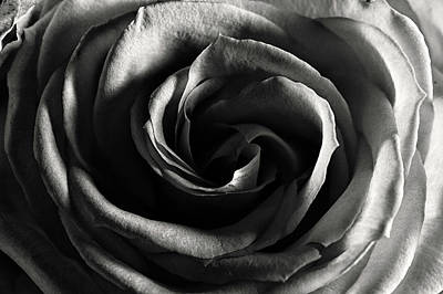 Photograph - Rose Study 1 In Black And White by Jeremy Herman