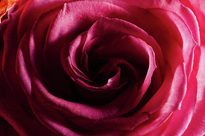 Photograph - Rose Study 1 by Jeremy Herman