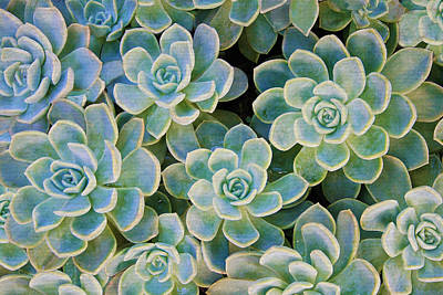 Photograph - Rose Succulents by Sandi OReilly