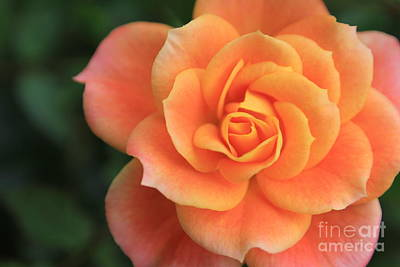 Stay Photograph - Pink And Orange Rose by Sverre Andreas Fekjan