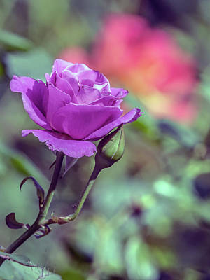 Photograph - Rose  by Tam Ryan