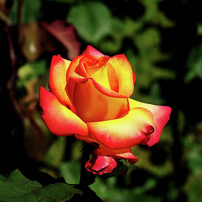 Photograph - Rose To Remember by Dale Stillman