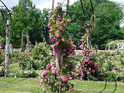 Photograph - Rose Trellis by Catherine Gagne