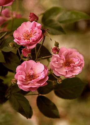 Photograph - Rose Trio by Jessica Jenney