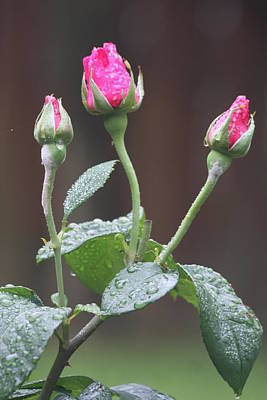 Photograph - Rose Trio by Vadim Levin