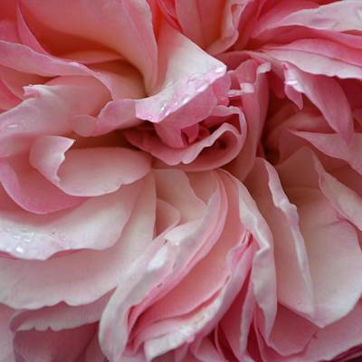 Photograph - Rose Twist by Cheryl Miller